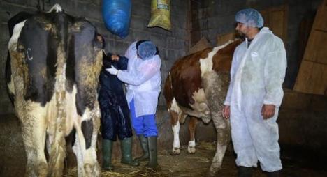 """""""الحمى القلاعية""""..صرف تعويضات مالية للفلاحين بسبب إتلاف ماشيتهم"""